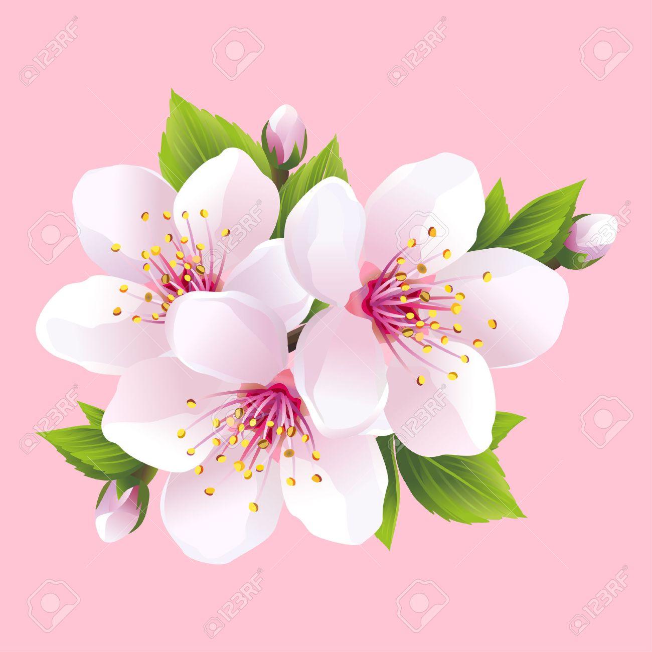 direction generale de la floraison blanche sakura cerisier japonais belle fleur rose cerise isole sur fond rose elegant papier peint printemps