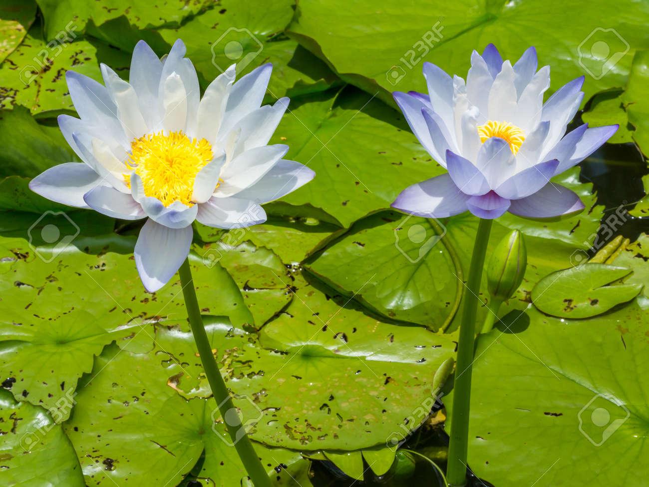 gros plan de fleurs de lys d eau ou fleur de lotus dans un etang