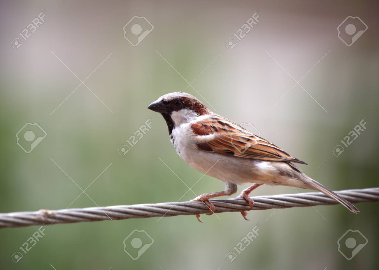 Close Up Shot Of Beautiful House Sparrow Stock Photo Picture And Royalty Free Image Image 16155080
