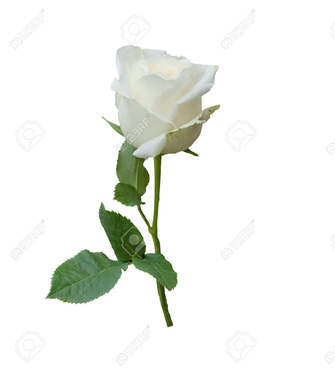 Single White Rose Flower Isolated On White Background Stock Photo Picture And Royalty Free Image Image 11477141