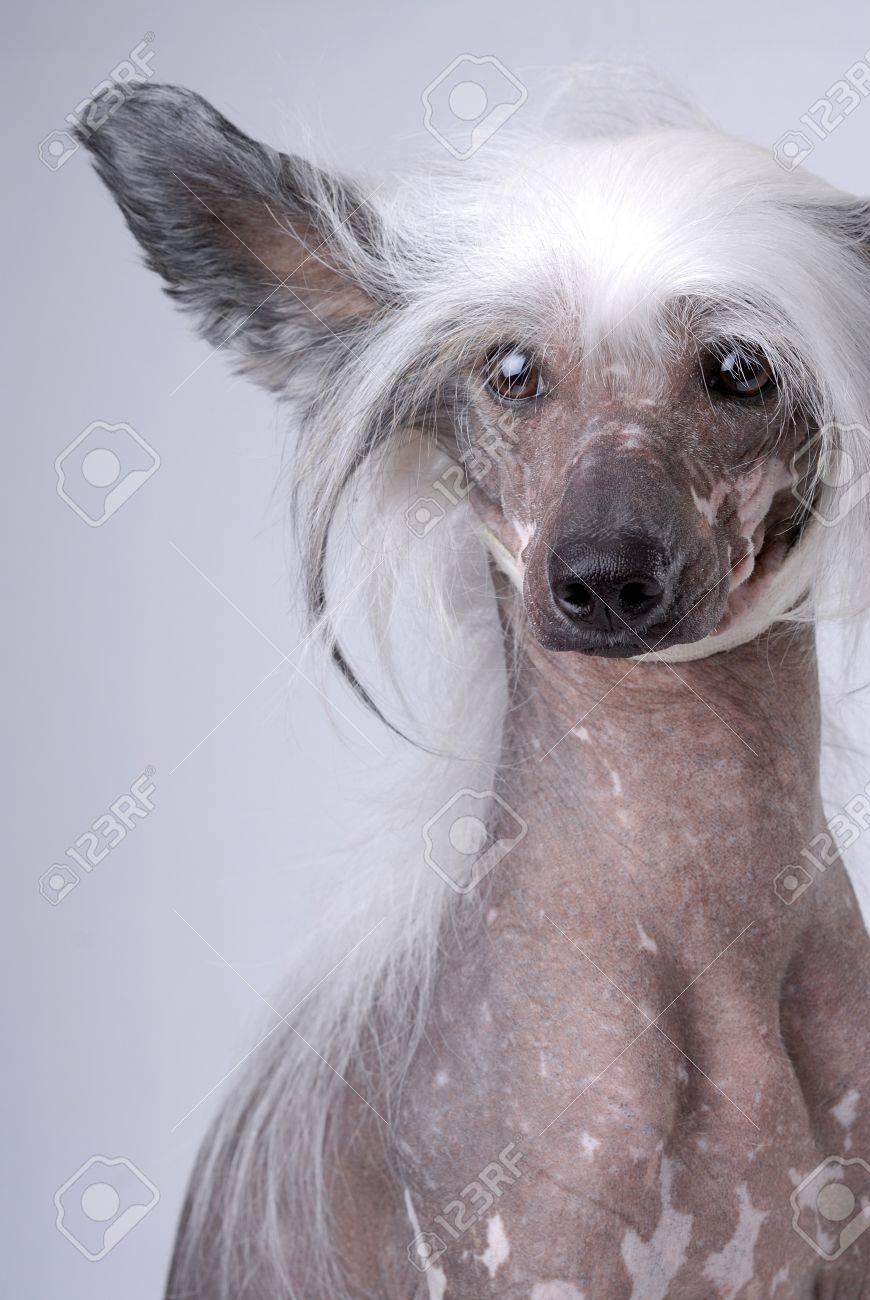 blanc chien chinois a crete sur fond gris