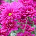 Pink Chrysanthemum Flowers In Flower Garden Soft Focus And Blurred Stock Photo Picture And Royalty Free Image Image 36868985