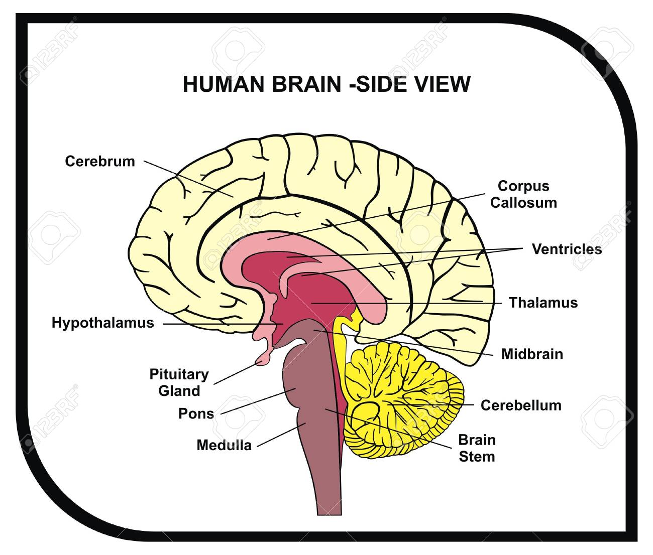 Interior Brain Diagram With Functions Data Wiring Diagrams