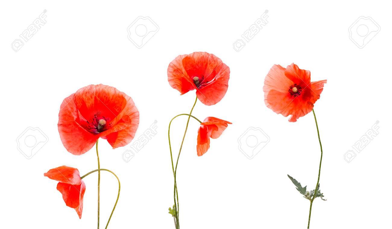 Posterlounge Wandbild Rote Mohnblumen Auf Der Grunen Wiese