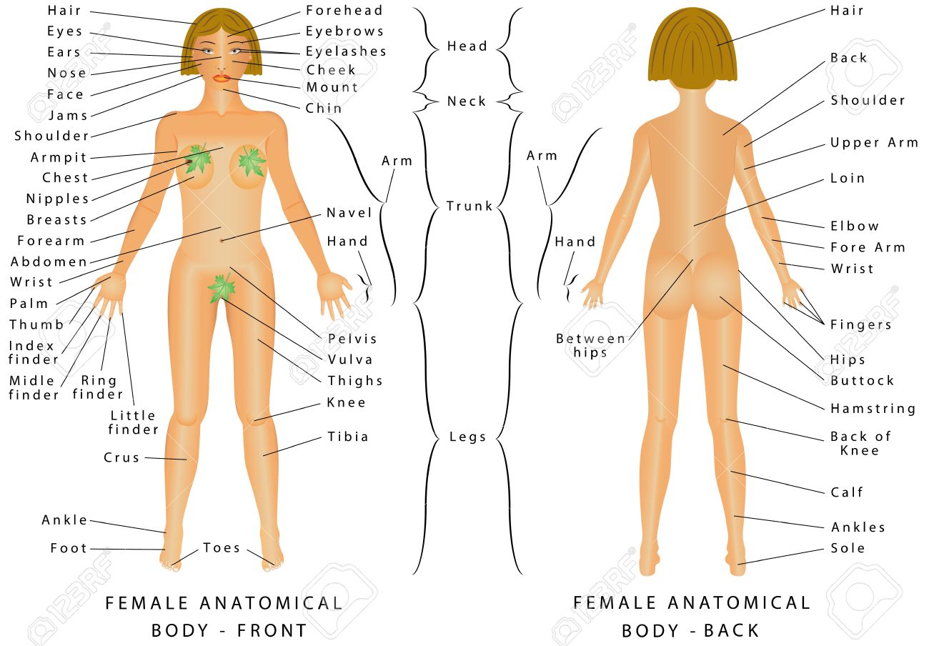 Regions Of Female Body Female Body Front And Back Female Royalty Free Cliparts Vectors And Stock Illustration Image 69259161