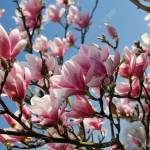 Branch Of Magnolia Tree In The Spring Garden Macro Photography Stock Photo Picture And Royalty Free Image Image 117489936