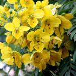 Cassia Leptophylla Gold Medallion Tree Tree With Pinnate Compound Stock Photo Picture And Royalty Free Image Image 72541907