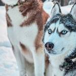 Husky Dog Black And White Blue Eyes Cuteanimals
