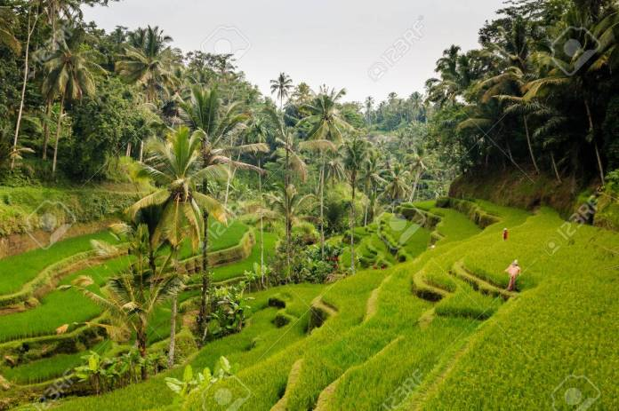 Beautiful Rice Terraces And Jungle In Indonesia Stock Photo Picture And Royalty Free Image Image 39349137