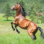 Running Horse Stock Photo Picture And Royalty Free Image Image 14122326