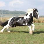 Gorgeous Irish Cob With Long Mane Jumping On Pasturage Stock Photo Picture And Royalty Free Image Image 23224335