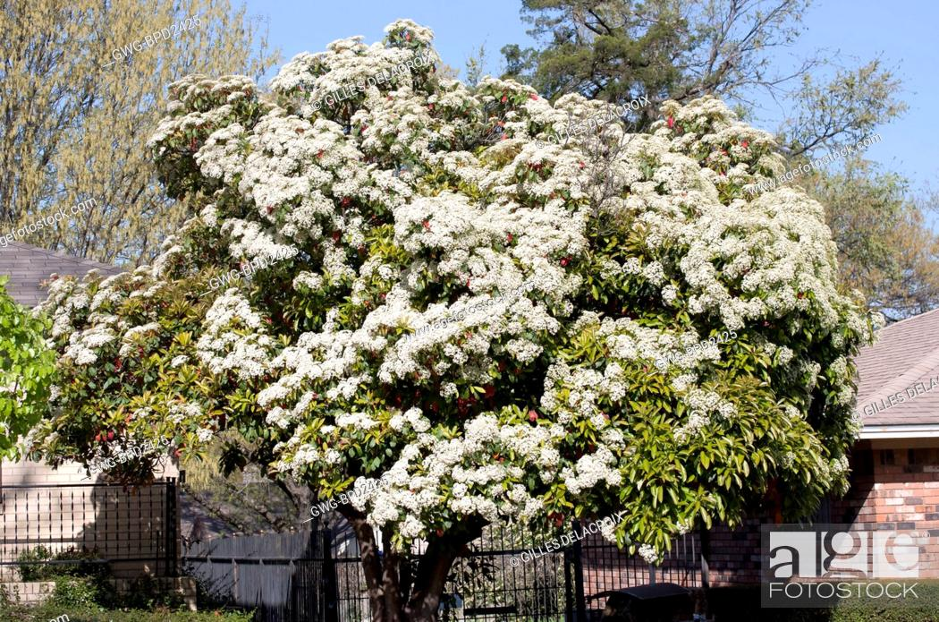 Photinia Serrulata Stock Photo Picture And Rights Managed Image