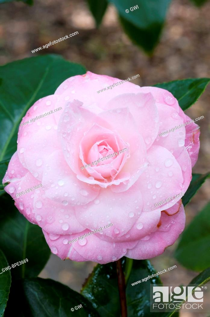 Camellia Japonica Dr Tinsley Stock Photo Picture And Rights