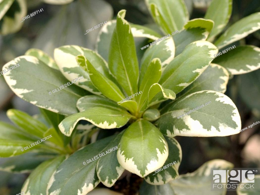 Pittosporum Tobira Stock Photos And Images Agefotostock