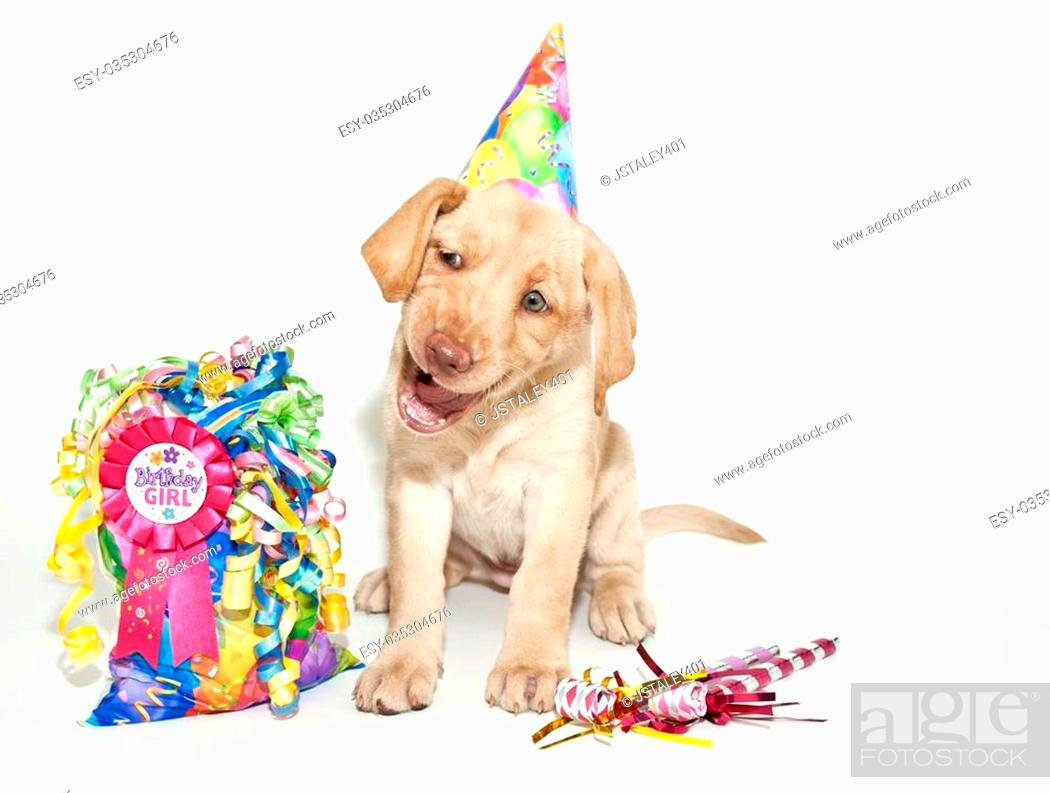 Birthday Lab Puppy Making A Funny Face And Looks Like She Is Singing Happy Birthday Stock Photo Picture And Low Budget Royalty Free Image Pic Esy 035304676 Agefotostock