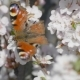 Butterfly On The Blooming Cherry 1