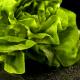 Lettuce 5-Pack