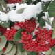 Xmas Winter Red Berries With Green Leaves In White Snow