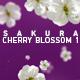 Sakura Cherry Blossom 1