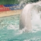 Beluga Whale Jumping and Diving in Swimming Pool on Performance in Dolphinarium