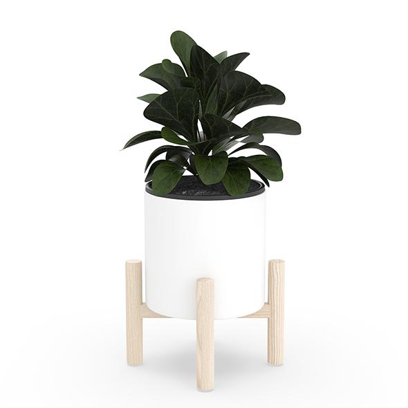 Ficus Lyrata in Ceramic Pot