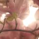 Blooming Magnolias