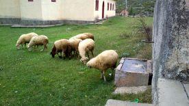 shepherd29