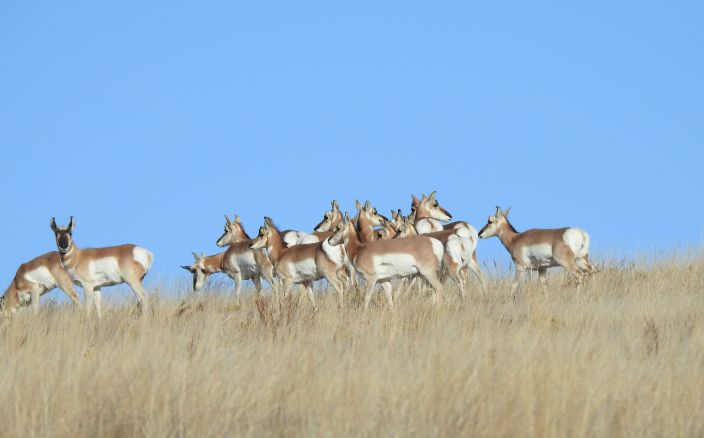 S50558433_Pronghorn3 (1)