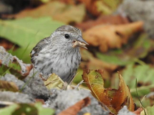 New-Habitat-New-Birds-Pine-Siskin-Shane-Sater