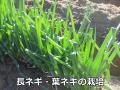 畑でもプランターでも!長ネギ、葉ネギの栽培方法・時期
