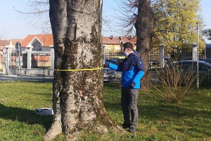 Zbog loše statike uzrokovane gljivom truležnicom mijenjaju stablo crvenolisne bukve kod Doma zdravlja