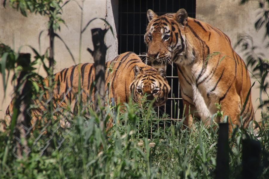 🖼️ Druženje s križevačkim tigrovima na 32 Celzijusa