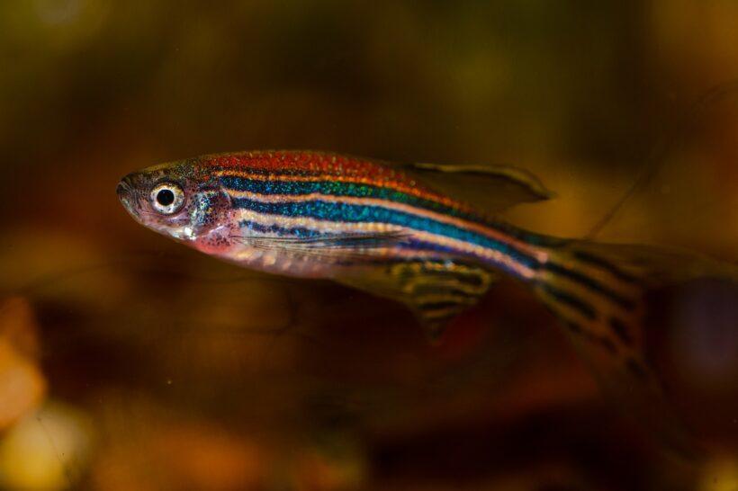 IMAMO SLIČAN MOZAK Ova ribica mogla bi nam pomoći da od ljudi napravimo svemirsku vrstu
