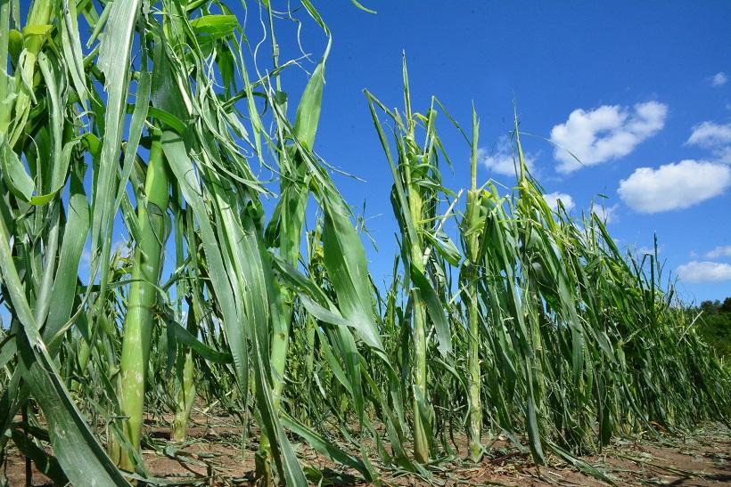 Nevrijeme poharalo poljoprivredne kulture na istoku Hrvatske