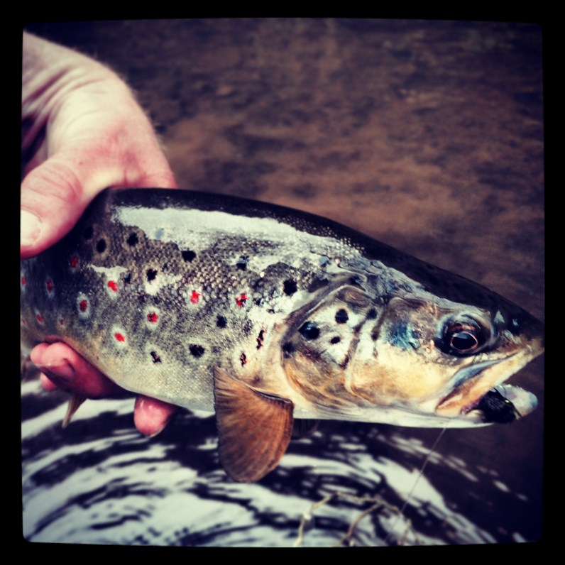 German Brown Trout