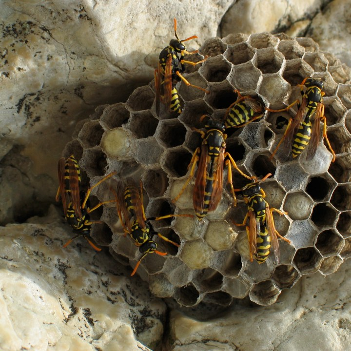 Yellow Jackets on a hive