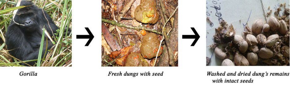 Washed and dried dung's remains with intact seeds
