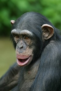 Cheeky Chimpanzee