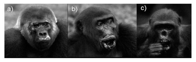 Gorillas with Yaws Disease