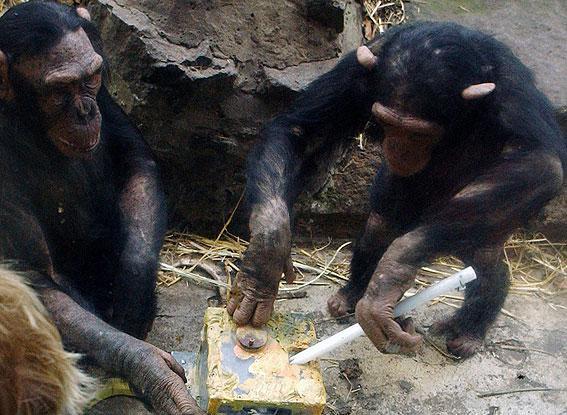 Chimpanzee Observation