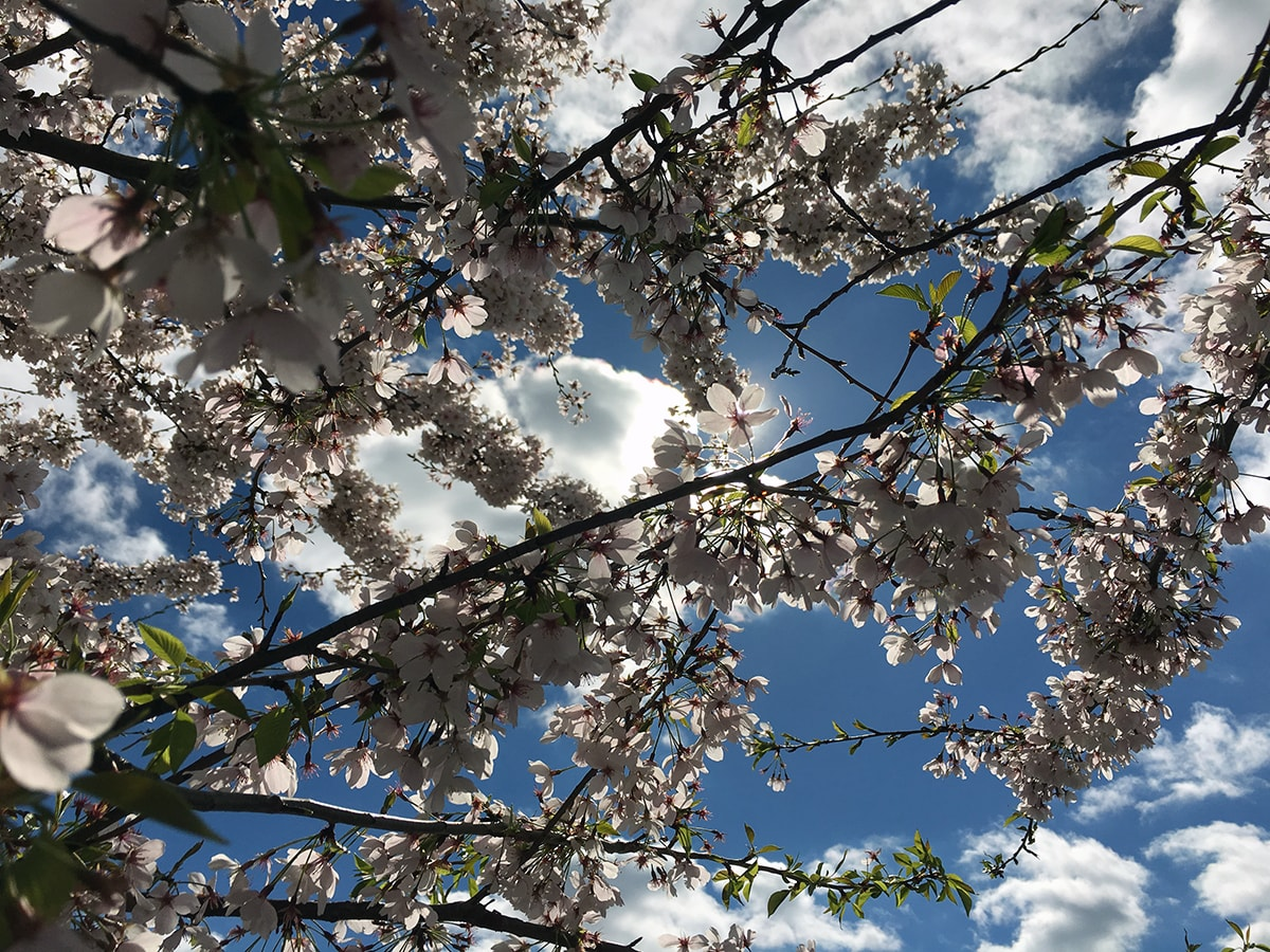 Close-up image of cherry blossoms