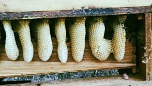 Honeybees in a dresser