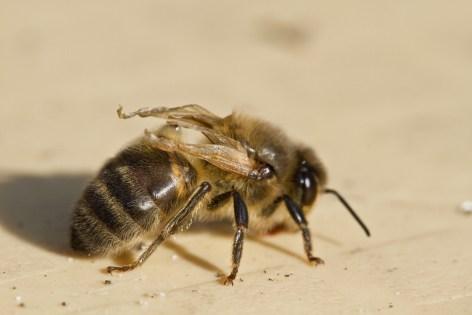 Deformed Wing Virus - Honey Bee