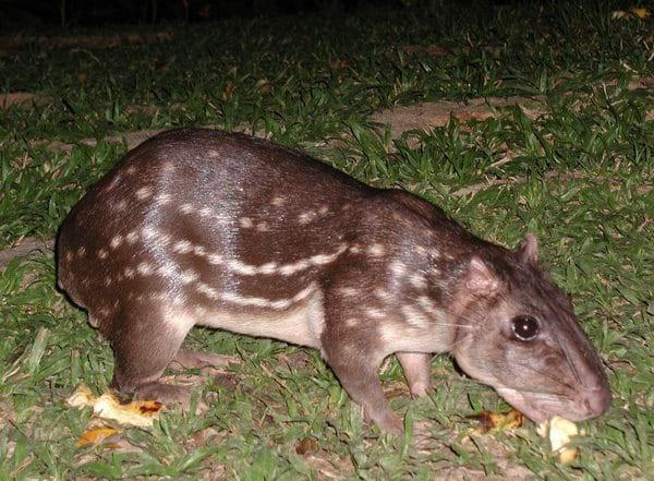 A paca é um roedor de tamanho médio que vive nas regiões tropicais e sub-tropicais, do Sudeste do México ao Sul do Brasil. sua carne é muito apreciada por caçadores por ser macia e de pouca gordura.
