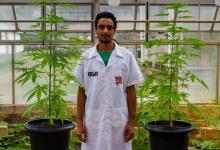 Foto de UFV planta maconha com aval da Justiça para estudos inéditos no Brasil