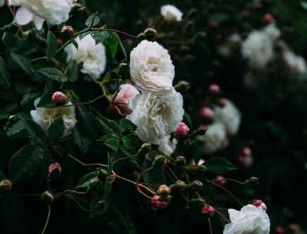 blooming bush of rose in garden
