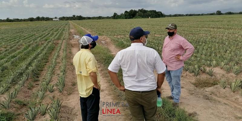 cultivo de piña Cesar