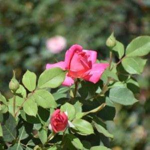 flores morelia ACG rosas