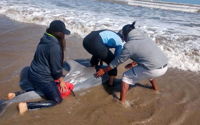 Rescatan a delfín enfermo en playas de Tamaulipas