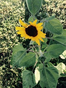 We woke up to another beautiful sun flower this morning